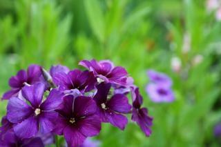 Fiori viola pianta da giardino scaricare foto gratis for Pianta fiori viola