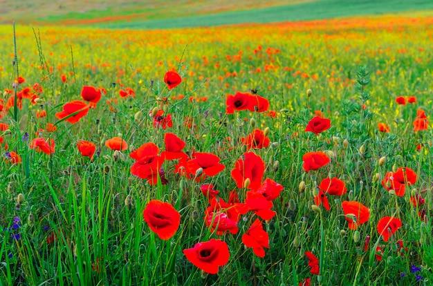 Fiorisca i fiori rossi selvaggi del papavero con un bokeh piacevole della sfuocatura nei precedenti di erba verde Foto Premium