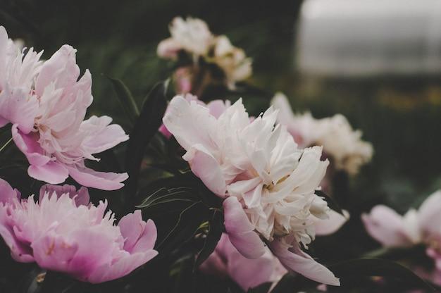 Fioriscono le peonie, colori caldi e bellissimi fiori lilla Foto Premium