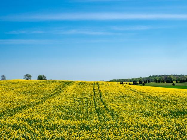 Fioritura campo giallo su una collina sotto un cielo blu chiaro Foto Gratuite