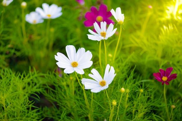 Fioritura dei fiori dell'universo Foto Premium