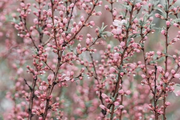 Fioritura della ciliegia della sorgente, piccoli fiori dentellare. sfondo fiorito Foto Premium