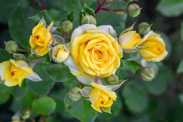 Fioritura di rose gialle su aiuole. coltivazione e vendita di fiori Foto Premium