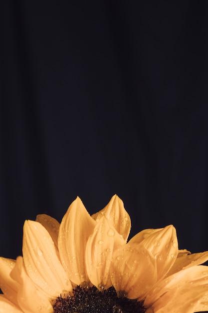 Fioritura gialla fresca con centro scuro in rugiada Foto Gratuite