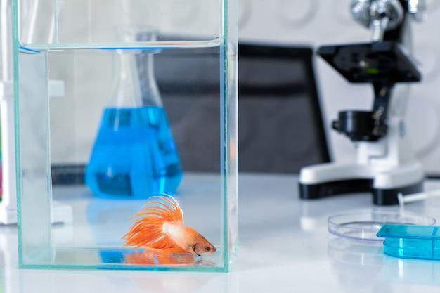 Fish thailand betta fish con ricerca scientifica. Foto Premium
