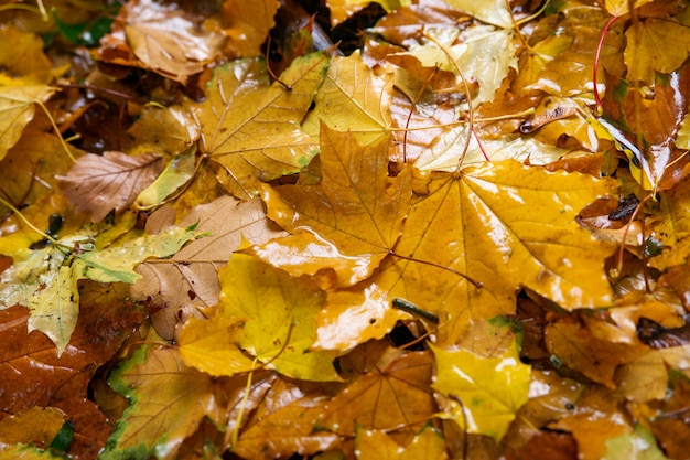 Fogli di autunno caduti da un albero. la pioggia cade su di loro Foto Premium