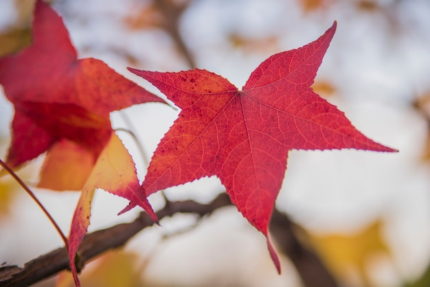 Foglia di acero giapponese foglie di acero rosso in un for Acero rosso giapponese