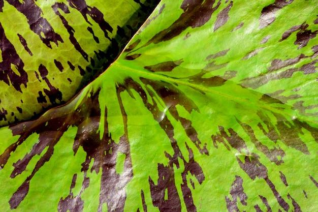 Foglia di loto verde e marrone Foto Premium
