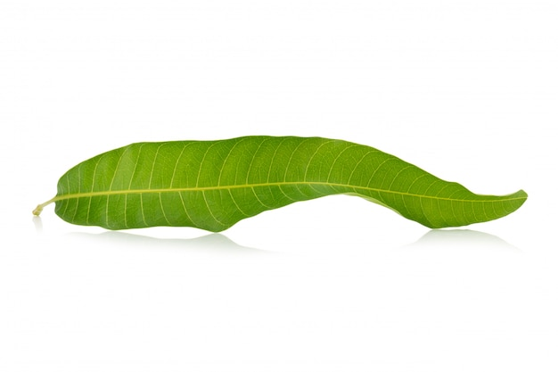 Foglia di mango su uno sfondo bianco Foto Premium