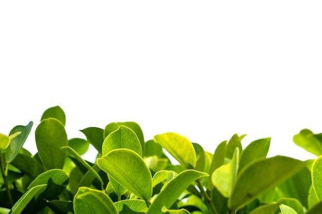 Foglia di natura con sfondo isolato Foto Premium