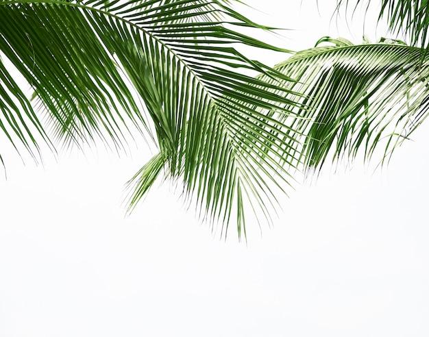 Foglia di palma da cocco isolata su fondo bianco Foto Premium