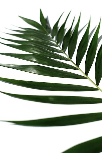 Foglia tropicale della palma su una priorità bassa bianca Foto Premium