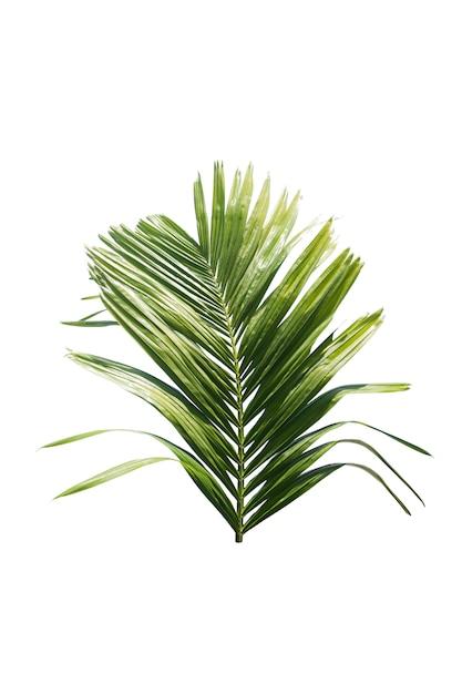 Foglia verde della palma isolata su fondo bianco Foto Premium