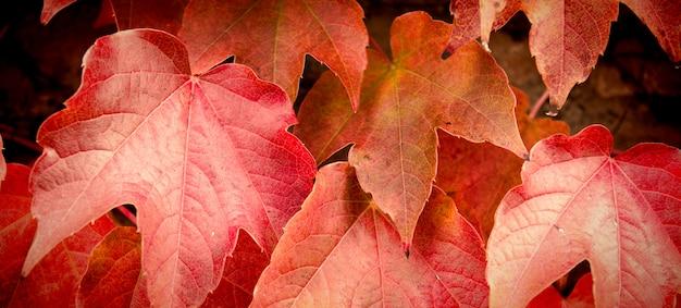 Foglie di acero autunno Foto Premium