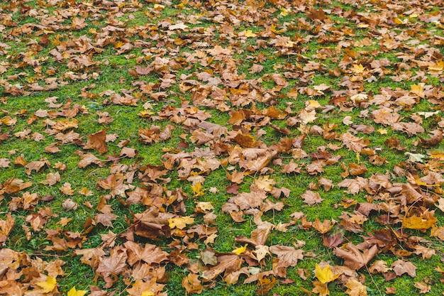 Foglie di acero gialle con il fondo dell'erba verde, autumn time dorato, caduta Foto Premium