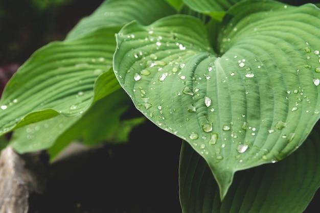 Foglie di hosta blu bagnate dopo la pioggia. hosta in giardino. Foto Premium