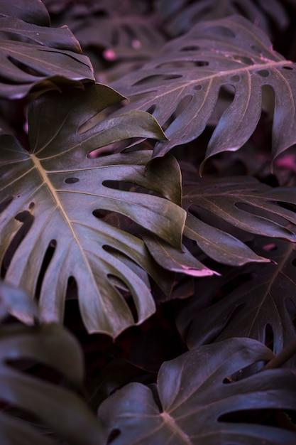 Foglie di monstera botanica Foto Gratuite