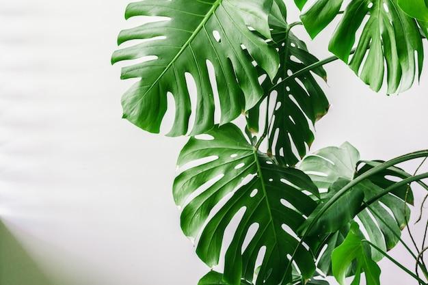 Foglie di palma tropicali esotiche di monstera a casa. Foto Premium