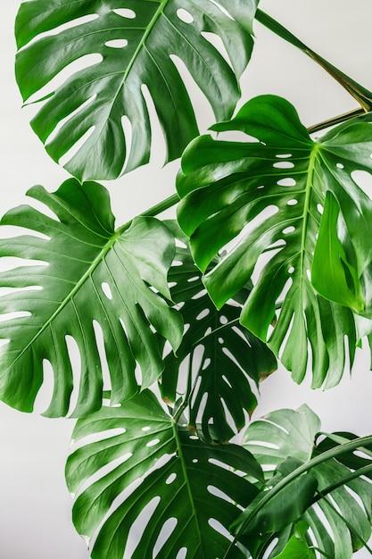 Foglie di palma tropicali esotiche di monstera a casa Foto Premium