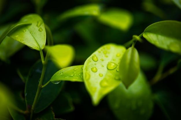 Foglie di tè verde Foto Premium