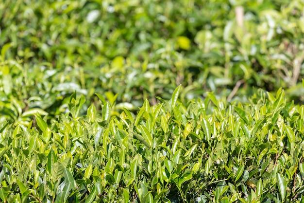 Foglie di tè verdi in una piantagione di tè Foto Premium