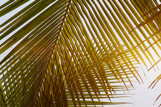 Foglie gialle verdi di vista dal basso dell'albero del cocco Foto Premium