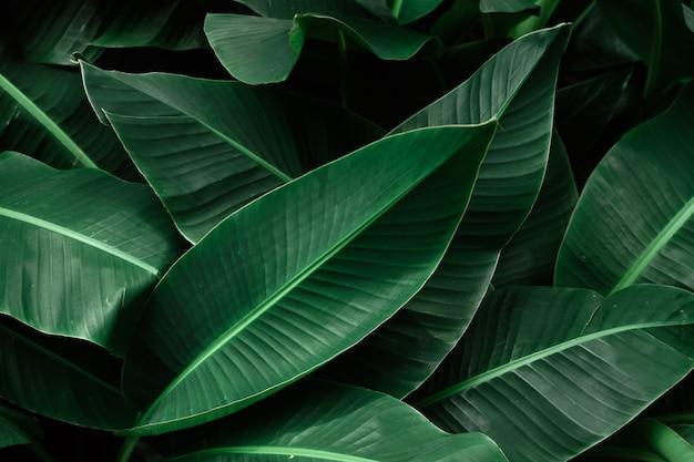 Foglie verde scuro della banana tropicale strutturate. Foto Premium