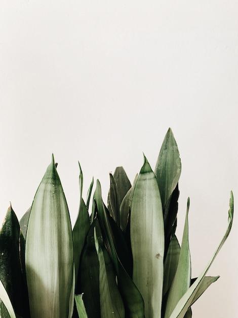 Foglie verdi della pianta di sansevieria Foto Gratuite