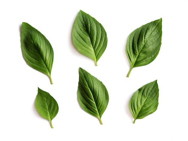 Foglie verdi fresche del basilico isolate. Foto Premium