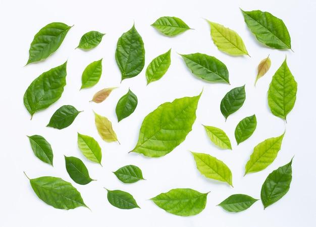 Foglie verdi su sfondo bianco. Foto Premium