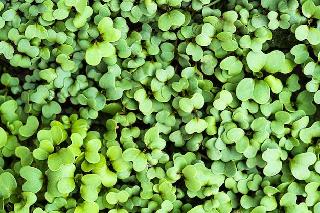 Fondo botanico della molla fresca verde della pianta del trifoglio Foto Gratuite