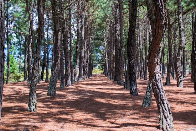 Fondo de pinos alineados Foto Premium