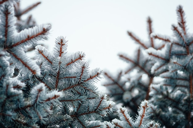 Fondo freddo del gelo della neve di inverno, fine del ramo di albero su, fuoco selettivo Foto Premium