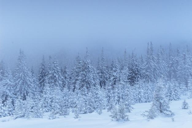 Foresta congelata di inverno nella nebbia. pino in natura coperta di neve fresca carpatica, ucraina Foto Gratuite