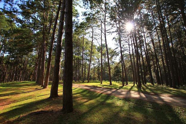 Foresta del pino al giorno soleggiato della molla. tunnel di modo della strada del pino Foto Premium