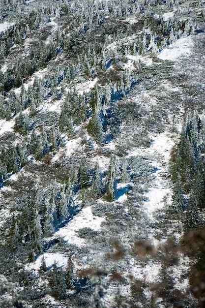 Foresta di conifere di montagna invernale Foto Premium