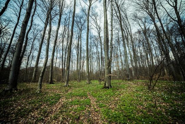 Foresta di faggi primavera Foto Premium