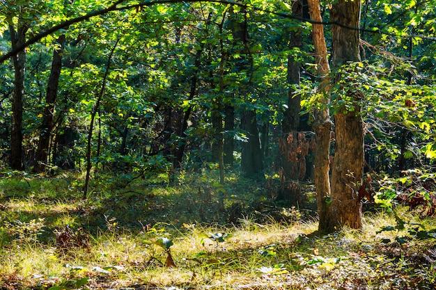 Foresta di nebbia del paesaggio bella foresta Foto Premium