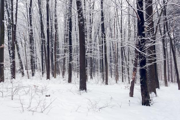 Foresta in inverno Foto Premium