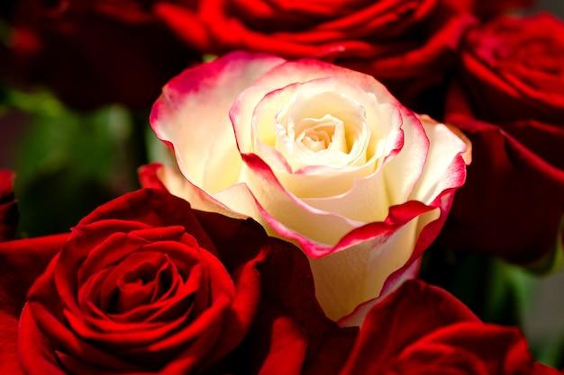 Foto a macroistruzione di una rosa bianca fra parecchie rose rosse rosse. il concetto non è come tutti gli altri. Foto Premium