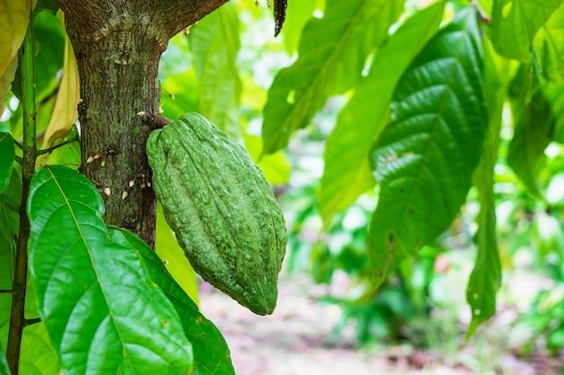 Frutta cruda fresca del cacao dall'albero di cacao Foto Premium