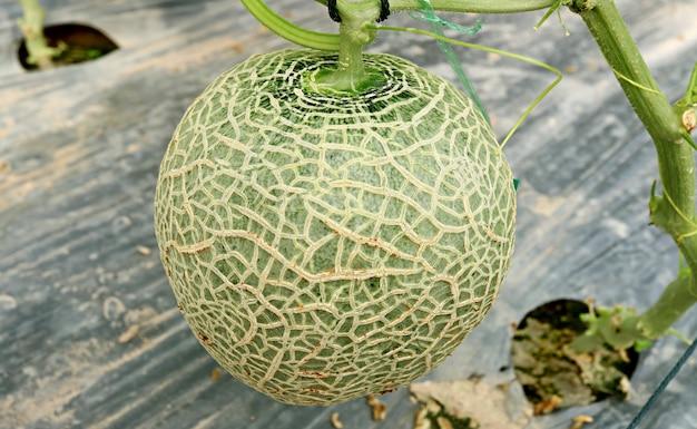 Frutta o melone fresco del cantalupo sull'albero nella serra Foto Premium