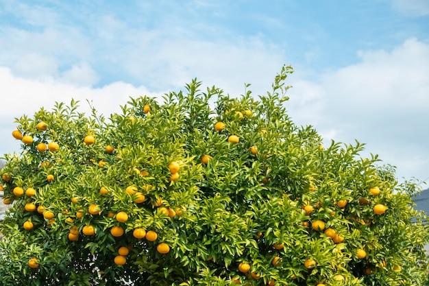 Frutti di arance con cielo blu Foto Premium
