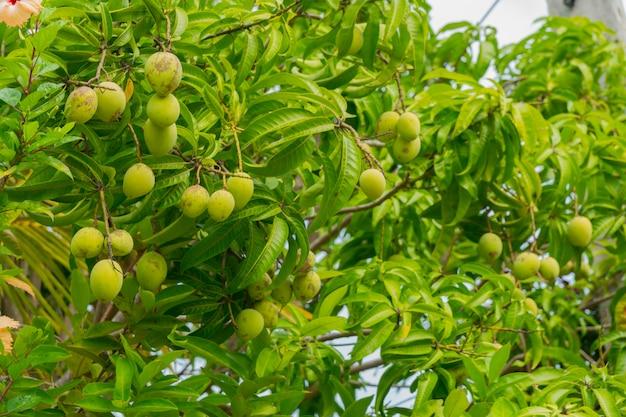 Frutti di mango verde sui rami dell'albero di mango. Foto Premium