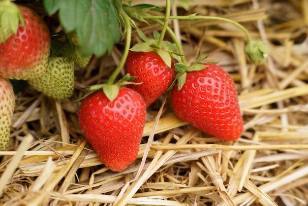 Frutto di fragola rosso paglierino Foto Premium