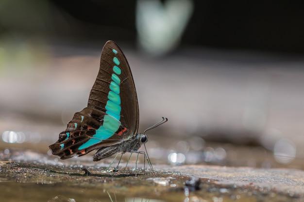 Fuoco selettivo bella comune farfalla bluebottle gruppo in natura Foto Premium