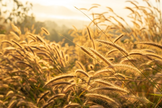 Fuoco selettivo sul fiore dell'erba asciutta con luce solare di alba. erba autunnale su alba. natura serale Foto Premium