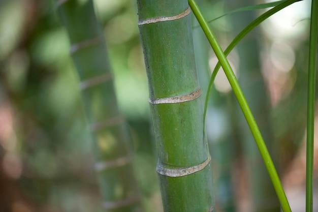 Gambi di bambù della giungla verde tropicale Foto Premium