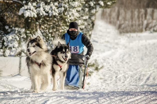 Gara di slitte trainate da cani. equipaggio musher e husky squadra di cani da slitta Foto Premium