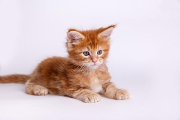 Gattino isolato su sfondo bianco Foto Premium